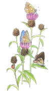 Adonis-Blue-Butterfly on thistle