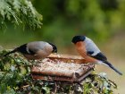 Bullfinch pair on Bird table