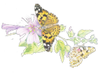 Painted lady on a clematis