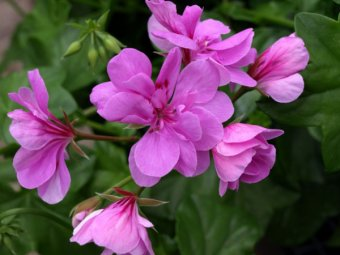 how to make pelargoniums flower
