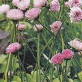 Bellis perennis Bedding daisy 'Dresden China' - plant for planters