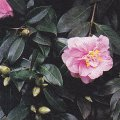 Camellia x williamsii 'Donation' - plant for planters
