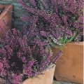 Erica x darleyensis Heath, heather 'Jenny Porter'' - plant for window boxes