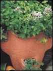 Growing-Herbs--in-Planters