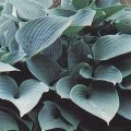 Hosta Plantain lily 'Halcyon' plant for planters