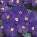 Primula vulgaris Primrose 'Quantum Blue'- plant for window boxes