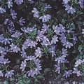Scaevola aemula Fan flower 'Blue Wonder'- plant for planters