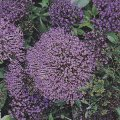 Trachelium caeruleum 'Passion in Violet'- plant for planters