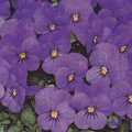 Viola x wittrockiana Winter pansy ' Universal Purple''- plant for window boxes